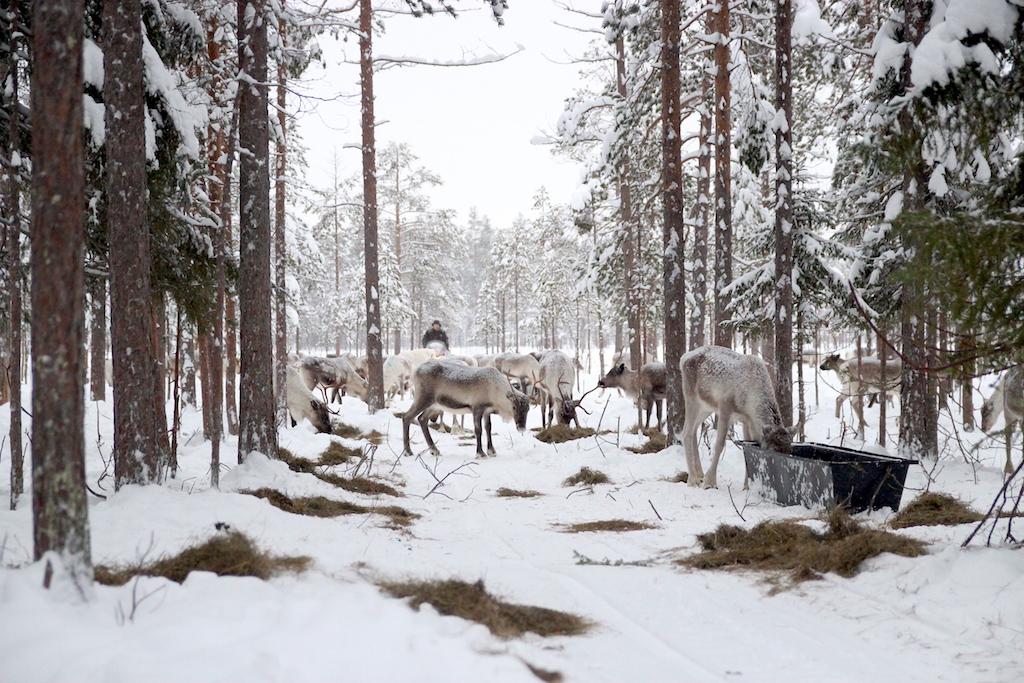 rencontre-eleveur-rennes-laponie