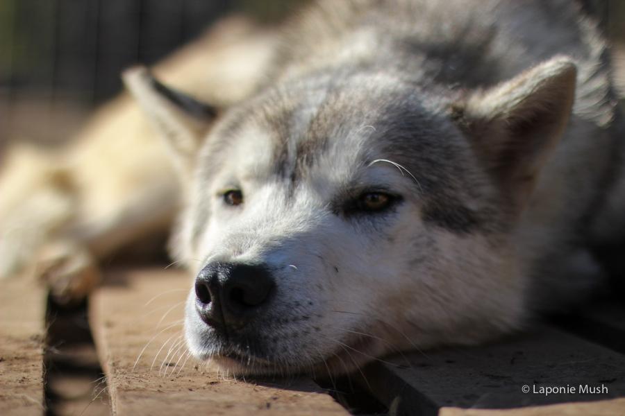 Puff chien de traineau groenlandais croisé husky - voyage en laponie suédoise
