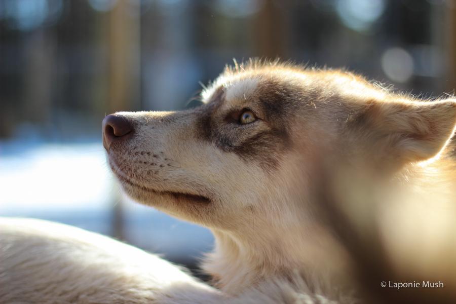 tchoupi chien de traineau groenlandais croisé husky - voyage en laponie suédoise