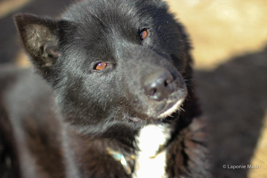 komi chien de traineau groenlandais croisé husky - voyage en laponie suédoise