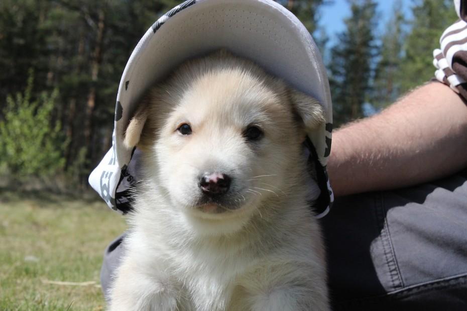 chiots-husky-groenlandais