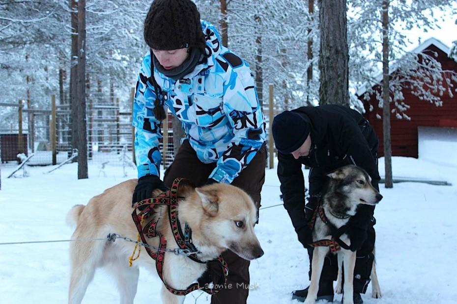 les clients mettent les harnais aux chiens de trtaineau avant le départ - voyage en laponie suédoise