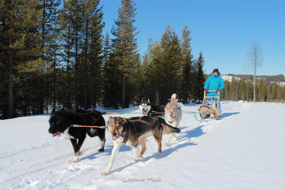 Michel en initiation à la conduite d'attelage de chien de traineau balade en traienaux à chien - voyage en laponie suédoise