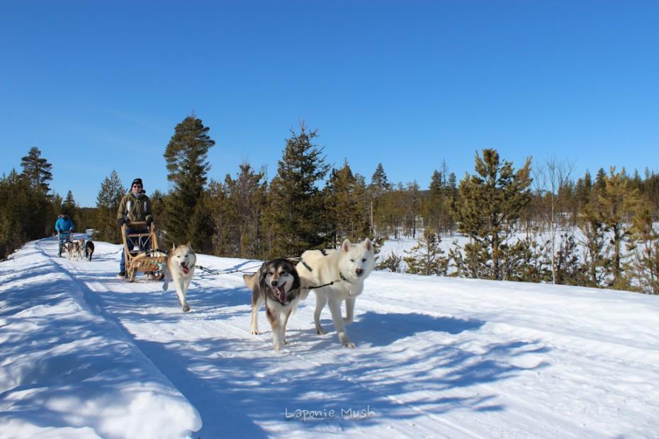 Marie-odile en initiation à la conduite d'attelage de chien de traineau balade en traienaux à chien - voyage en laponie suédoise
