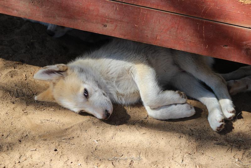 les chiots groenlandais/husky à 3 mois