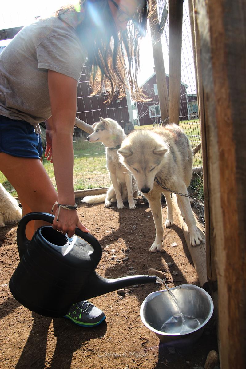 nourrissage des 28 chien - laponie suédoise