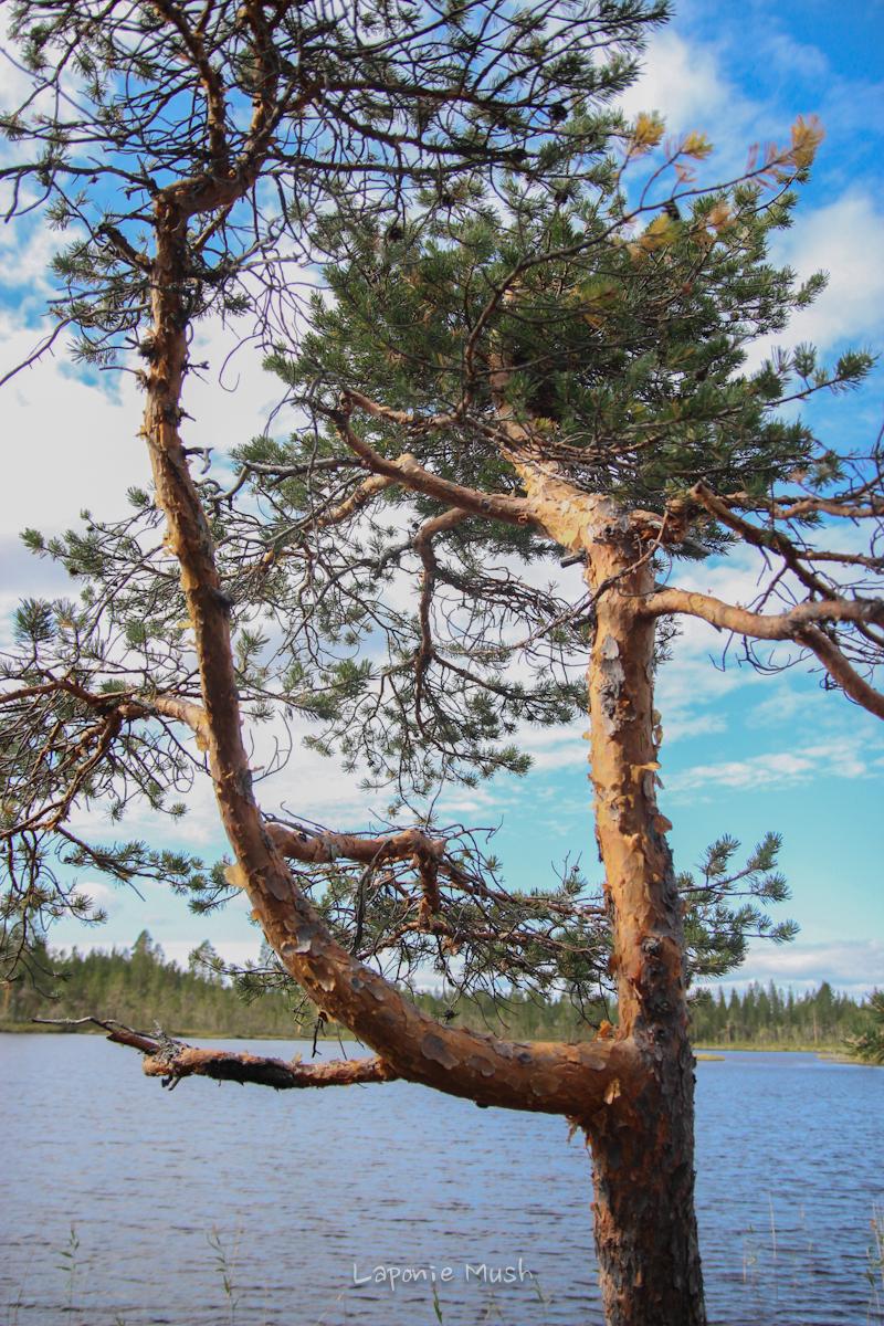 paysage de laponie suédoise en été