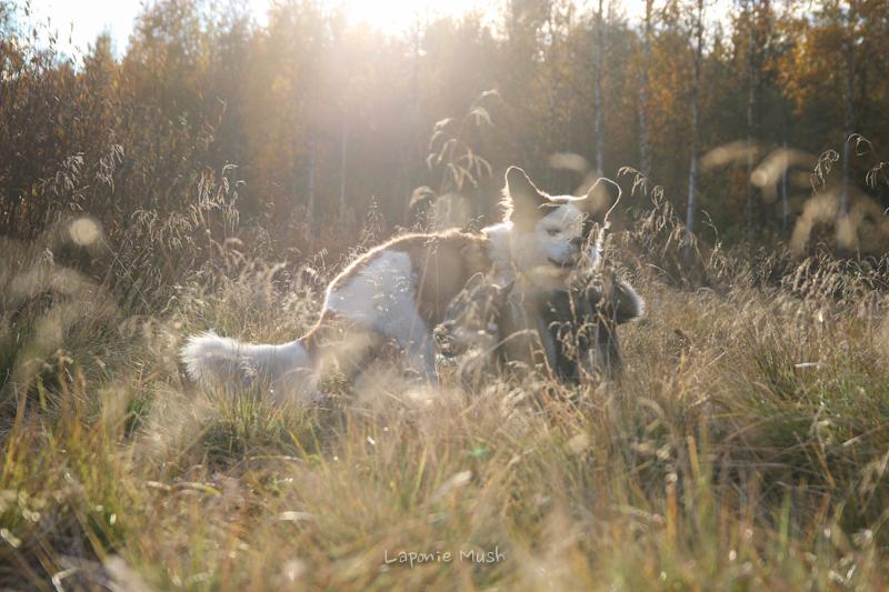 laponie-suédoise-chien-traineau-6404