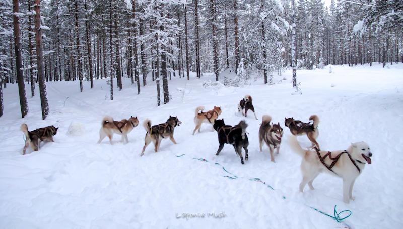 mise à l'attelage des chiens