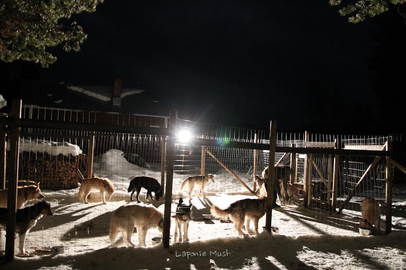 le nourrissage des chiens en Janvier à la frontale et projecteur