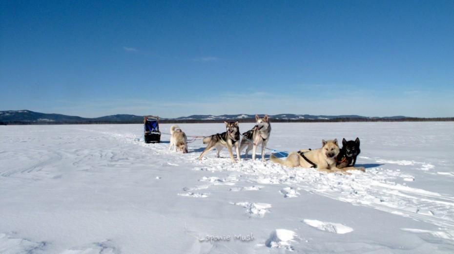 attelage de chien en pose sur la lac gelé - laponie suédoise