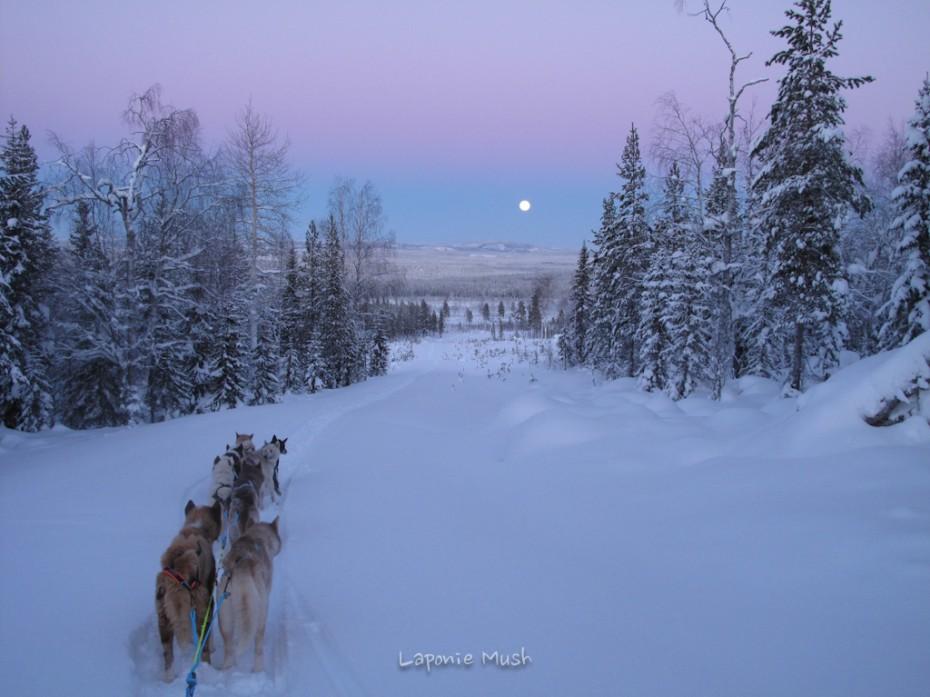 l'attelage de chien de traineau avec vu sur la lune et le ciel rosé - voyage en laponie suédoise