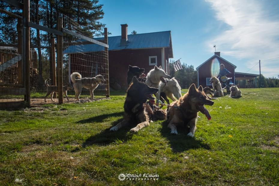 les chiens couché aprÈs l'entraînement au quad en été - séjour en laponie suédoise