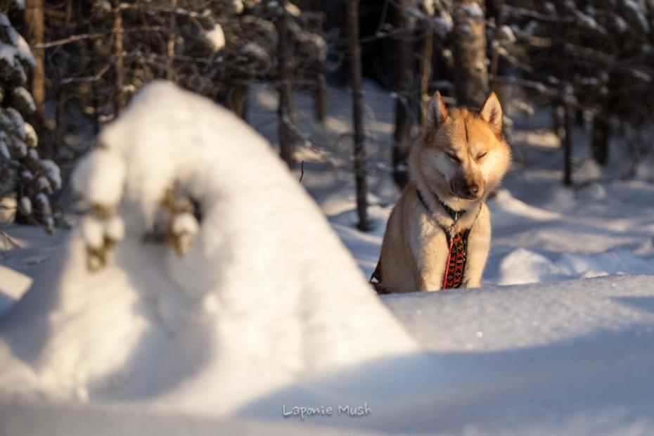 Evenki chien de traineau groenlandais croisé husky - voyage en laponie suédoise