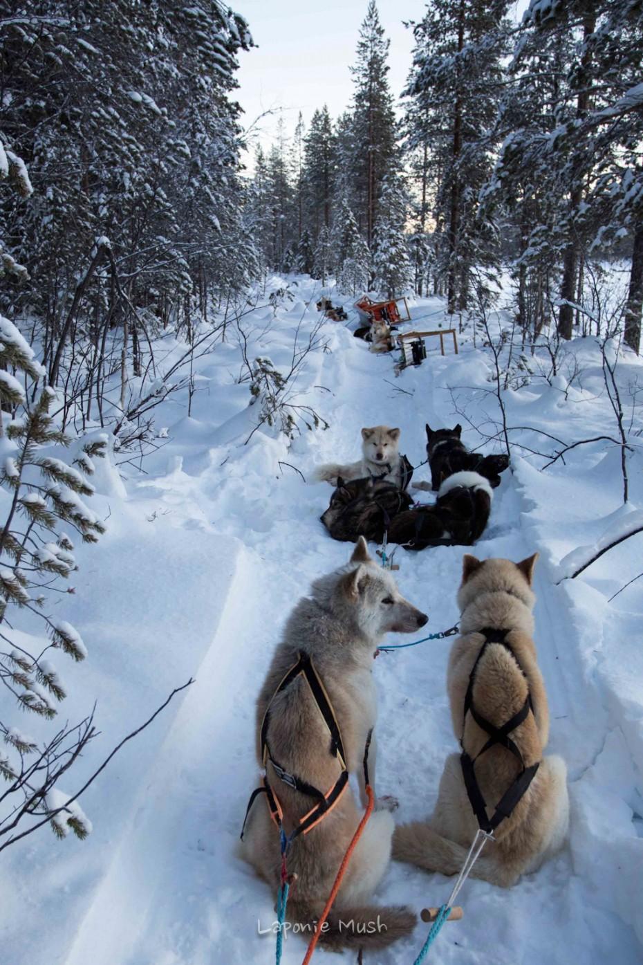 les chien de traineaux pendant la pause déjeuner - voyage en laponie suédoise