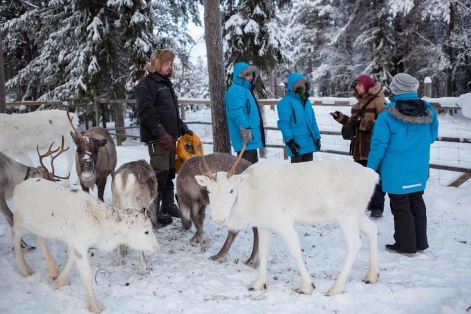 visite de la ferme à rennes chez des samis - Laponie suédoise