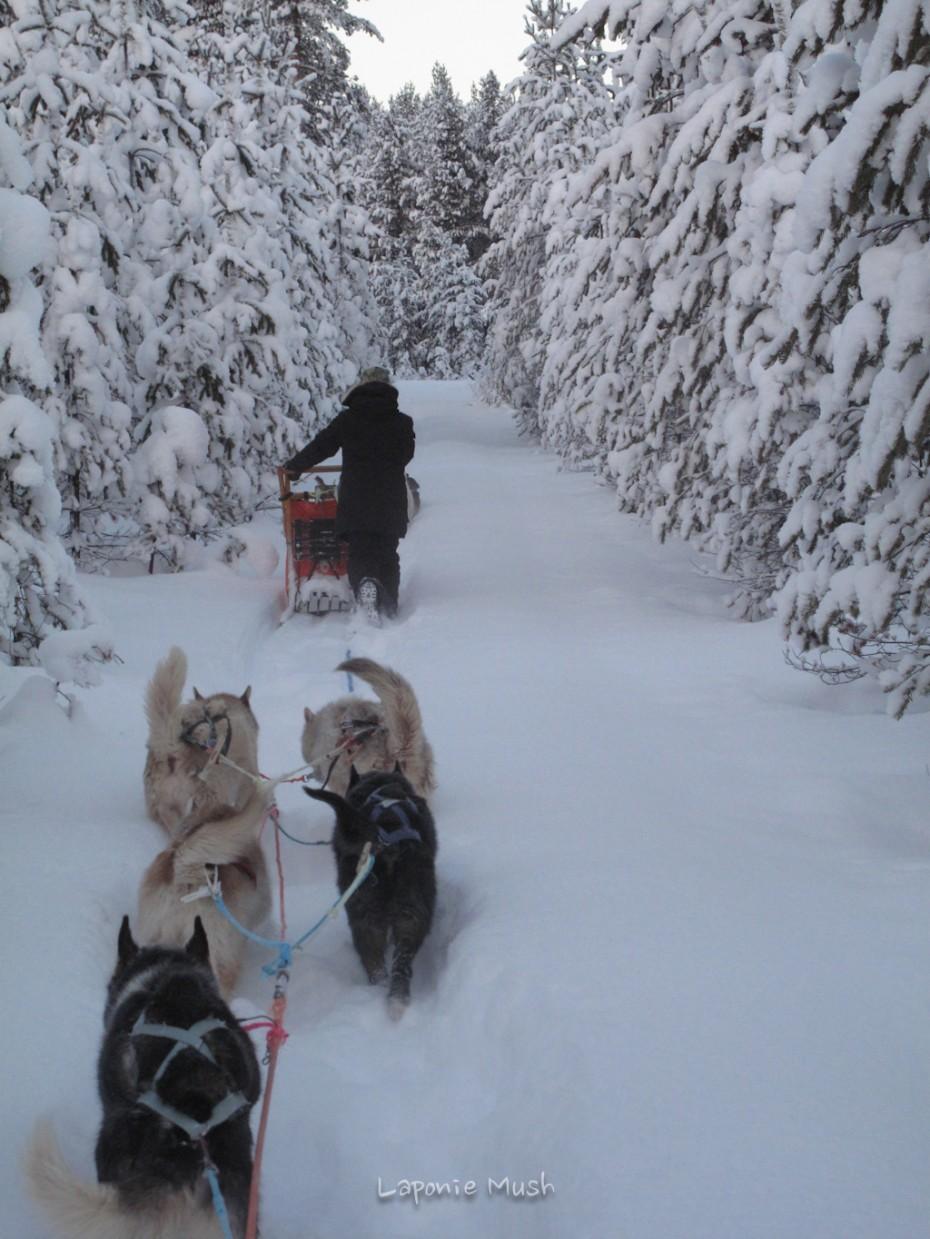 attelage de chien de traîneau - voyage en laponie suédoise