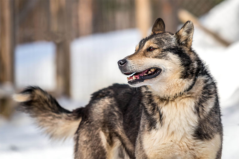 chien-traineau-laponie-sejour-hiver-suede