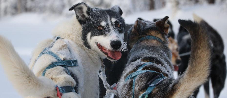 Séjour Chiens de traineau en Laponie Suédoise