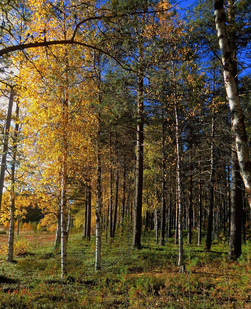 laponie-chiendetraineau-sejour-suedoise-automne