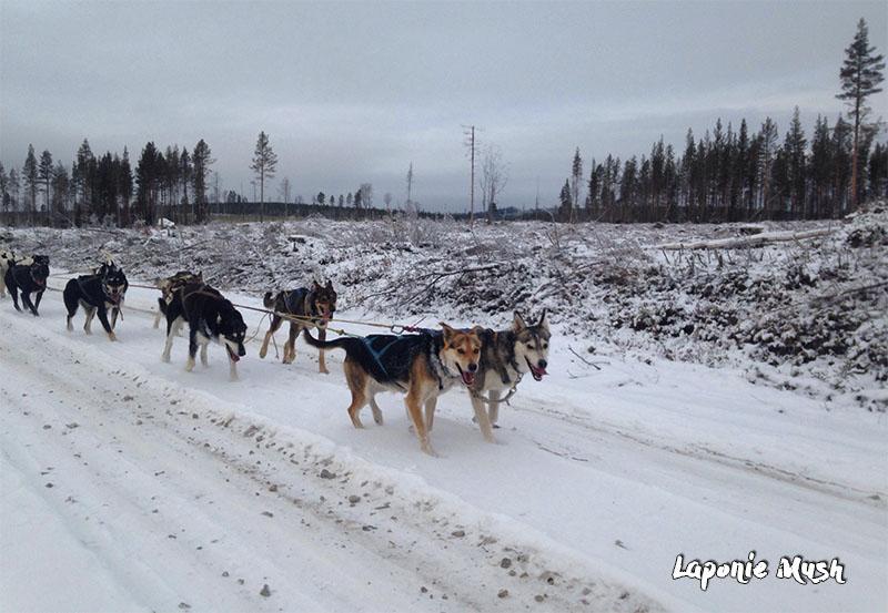 laponie-chien-traineau-hiver-entrainements-suede
