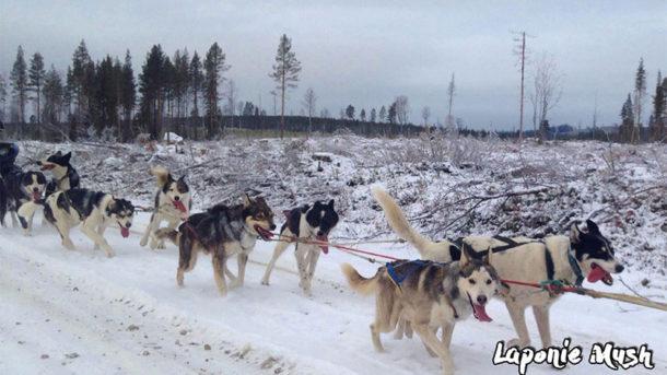 en laponie suédoise, on poursuit l'entrainements des chiens de traineau pour préparer les séjours multi-activtiés d'hiver et les courses de longues distances