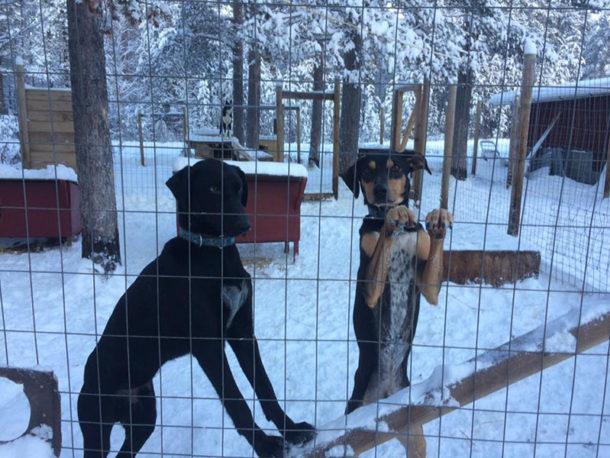 laponie-chien-traineau-sejour-hiver-paco-dark