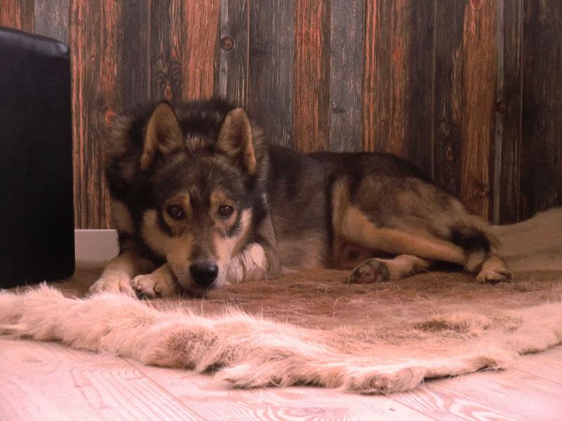 laponie chien de traineau takk sejour hiver