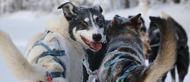 sejour-laponie-chien-traineau-grand-froid-hiver-suede-voyage