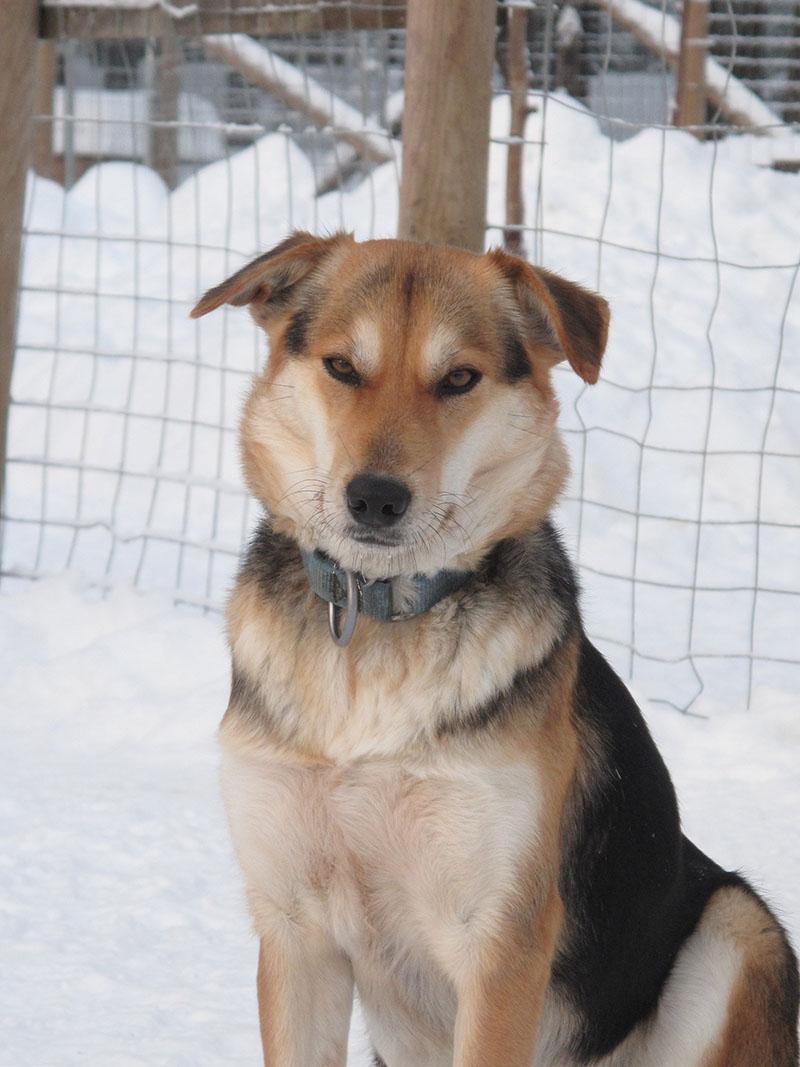 willow chien de traineau hiver laponie suedoise sejour
