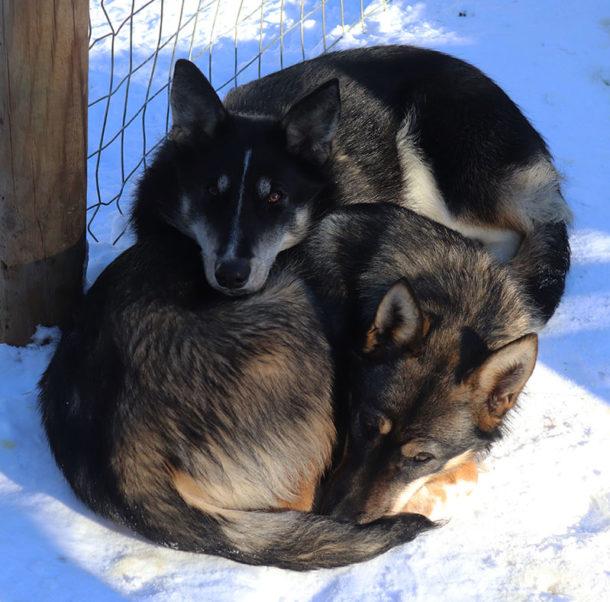 duo-chien-alaskan-husky-suede-zaz-trappeur-hiver-laponie