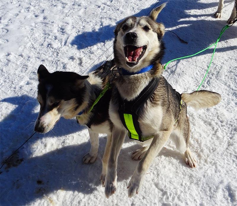 Au nord de la suede, des chiens de traineau heureux prêt à courir