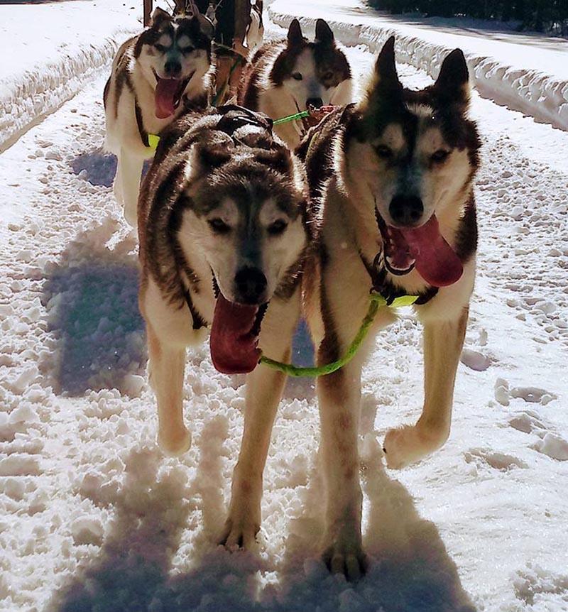 dans le nord de la suède, en laponie, séjours avec des petits chiens de traineau en forme avec plein d'énergie pour courir