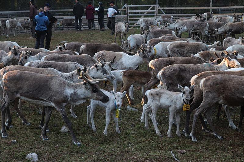marquage des jeunes rennes en laponie sudoise