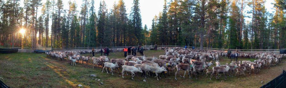 en laponie, en juin, moment traditionnel du marquage des rennes