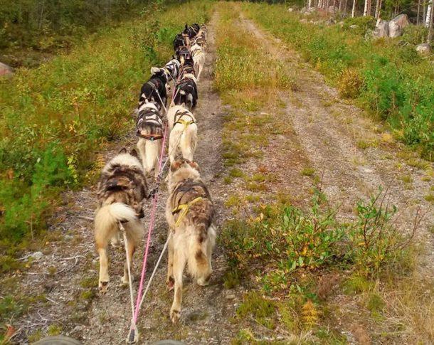 Reprise de l'entrainement des chiens