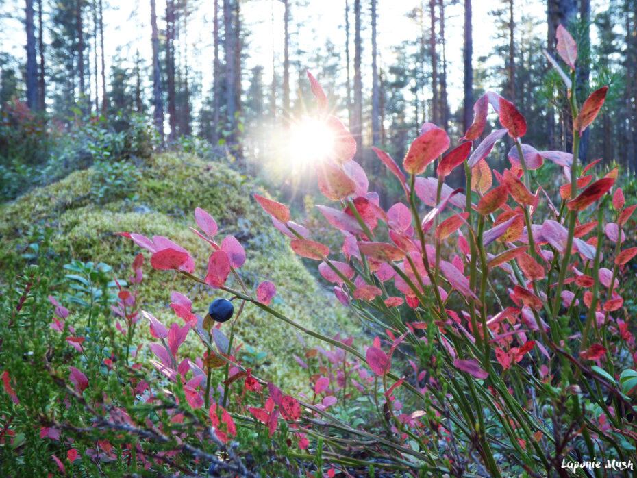 paysage de foret en laponie suédoise en automne. Au premier plan, arbuste aux feuilles rougies et baies noires, à l'arrière plan, amas de mousse et troncs qui touchent la lumière