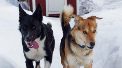 Chanelle et Willow, deux chiens de traineau leader