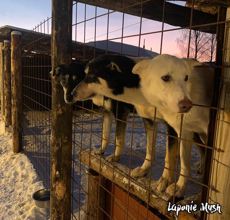 Chien de traineau au chenil en Laponie Suedoise