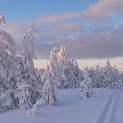 Laponie magique et ses arbres recouverts de neige poudreuse au cours d'une randonnée en motoneige