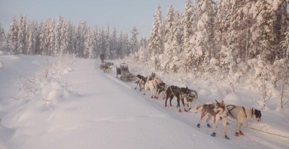 chien de traineau laponie suédoise