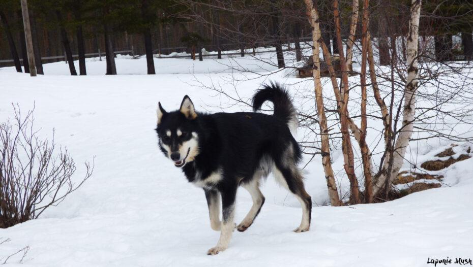 Jax, notre Alaskan Husky en Laponie