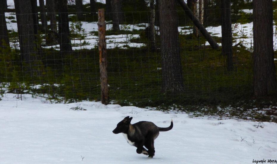 Notre chien flash qui court en laponie suédoise