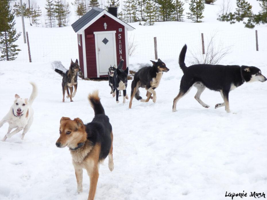 notre de meute de chiens sur notre domaine Laponie Mush en Laponie suédoise